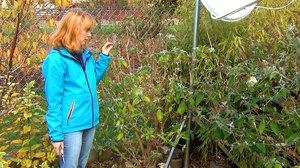Будлея: особенности выращивания, посадка и уход в открытом грунте