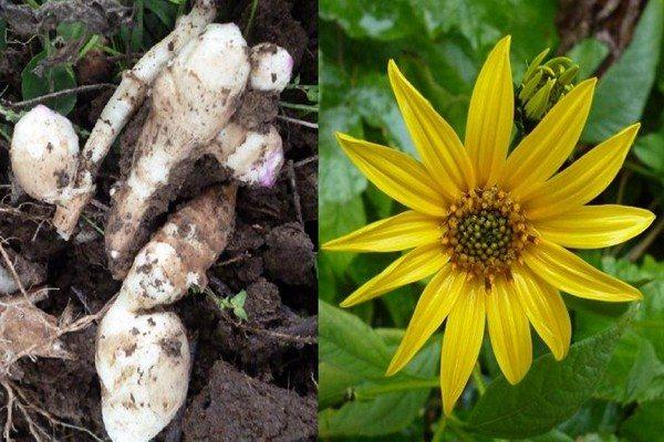 Топинамбур, или земляная груша. выращивание, уход, размножение. фото — ботаничка.ru