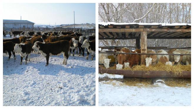 Выгодно ли разводить бычков на мясо?
