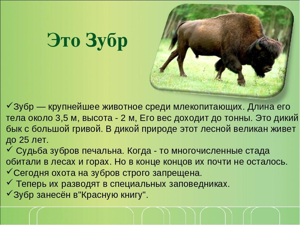 Зубр | приокско-террасный государственный природный биосферный заповедник