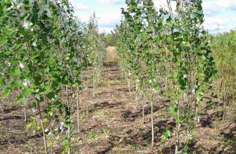 Как выглядит и где растет ясень? дерево ясень: описание, фото