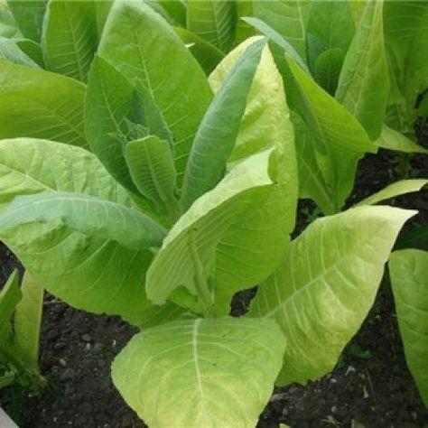 Выращивание табака на огороде для курения | домашняя ферма