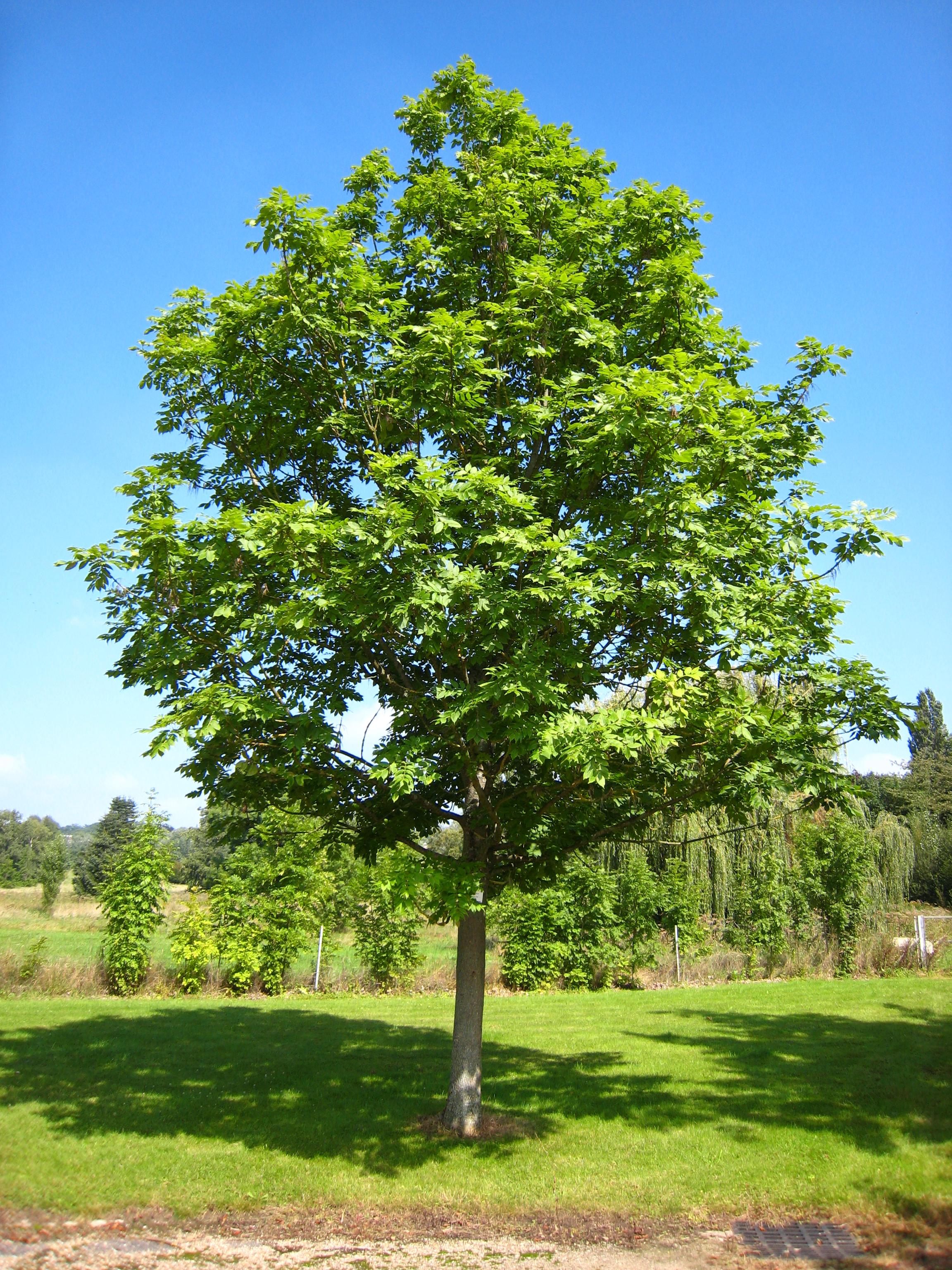 Виды ясеня фото дерева и листьев - дачный мир
