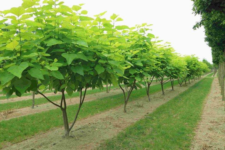дерево с длинными стручками и большими листьями