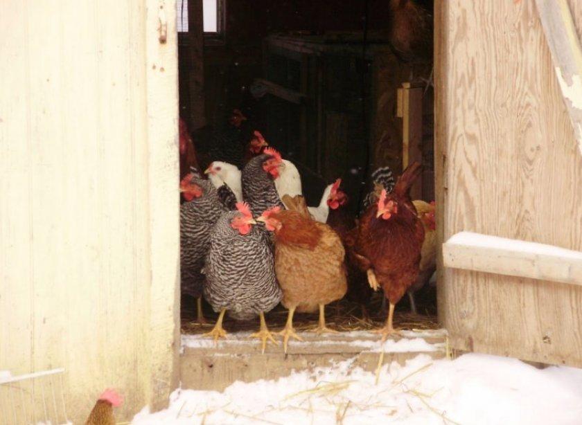 Особенности содержания кур зимой: изготовление курятника, питание, какую температуру выдерживают