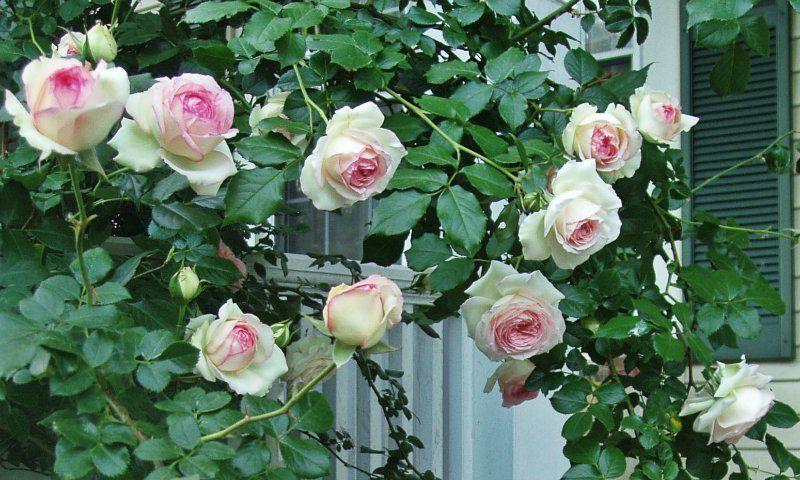 Особенности агротехники плетистых роз, все от посадки до укрытия на зиму + личный опыт с видео