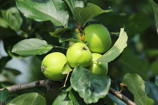 Популярные сорта декоративных яблонь