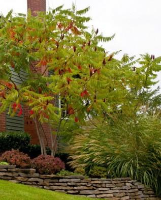уксусное дерево фото посадка и уход
