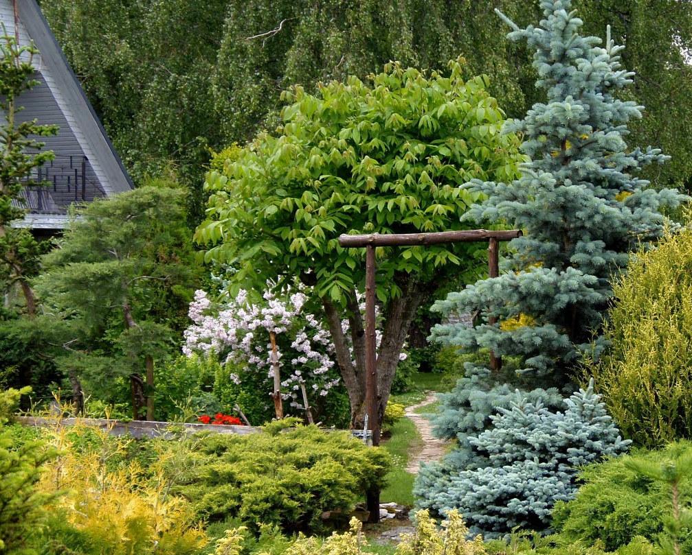 Ель обыкновенная инверса: как применить ее в дизайне сада