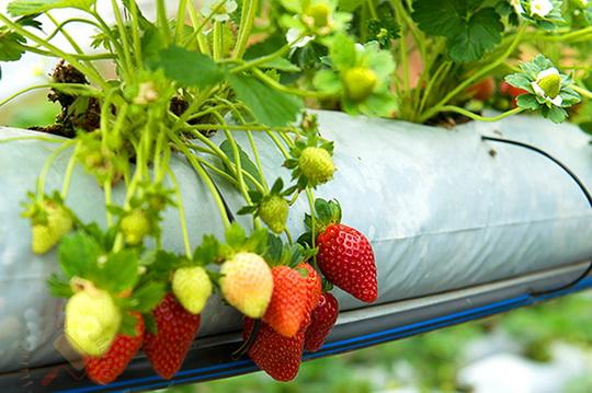 Технологии выращивания клубники в домашних условиях круглый год