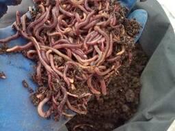 Разведение и продажа калифорнийских червей в домашних условиях как бизнес