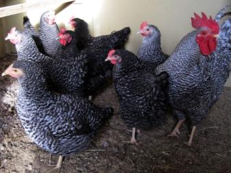 Куры чешской породы доминант: отзывы о том, как и чем кормить птиц, как грамотно ухаживать