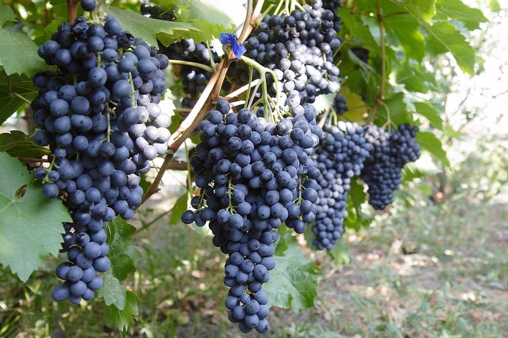 Готовим вино из подмороженного винограда