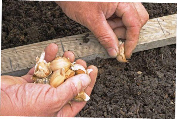 Все о выращивании озимого чеснока