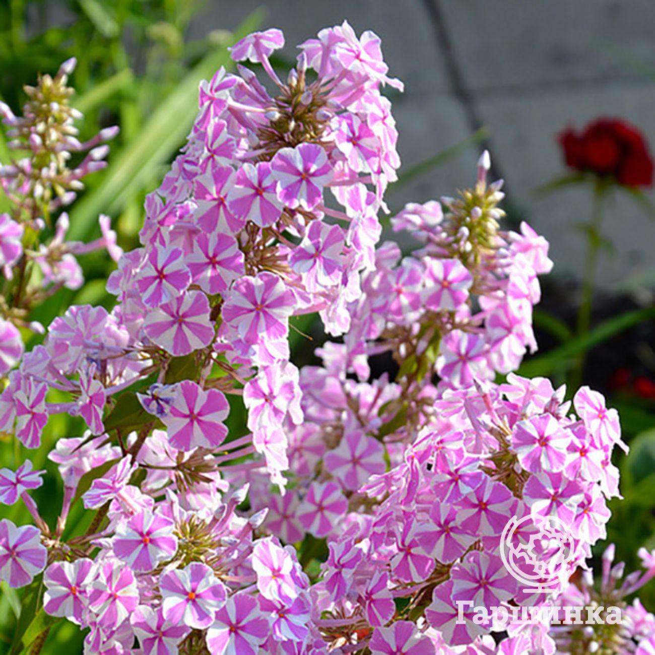 Флокс метельчатый - советы по уходу, посадке и размножению