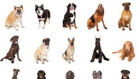 Выбираем собаку для охраны / асиенда.ру