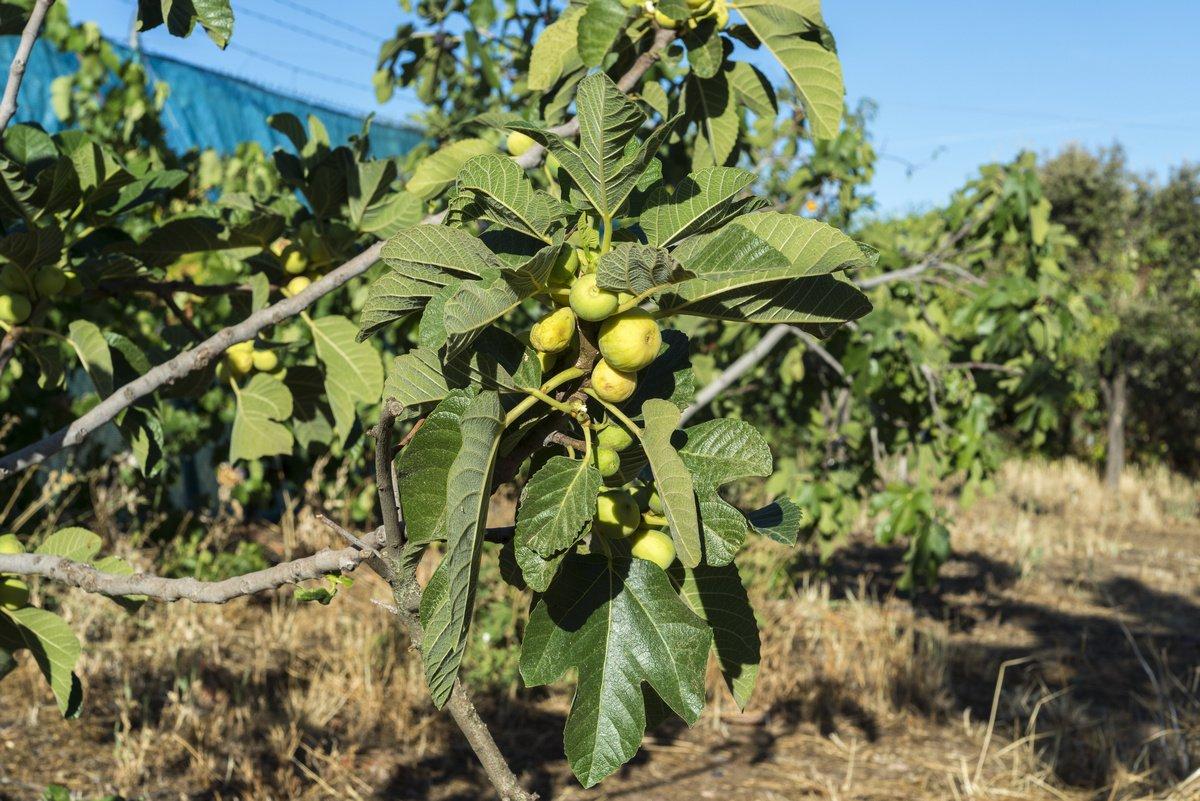 Посадка и выращивание инжира в открытом грунте на украине