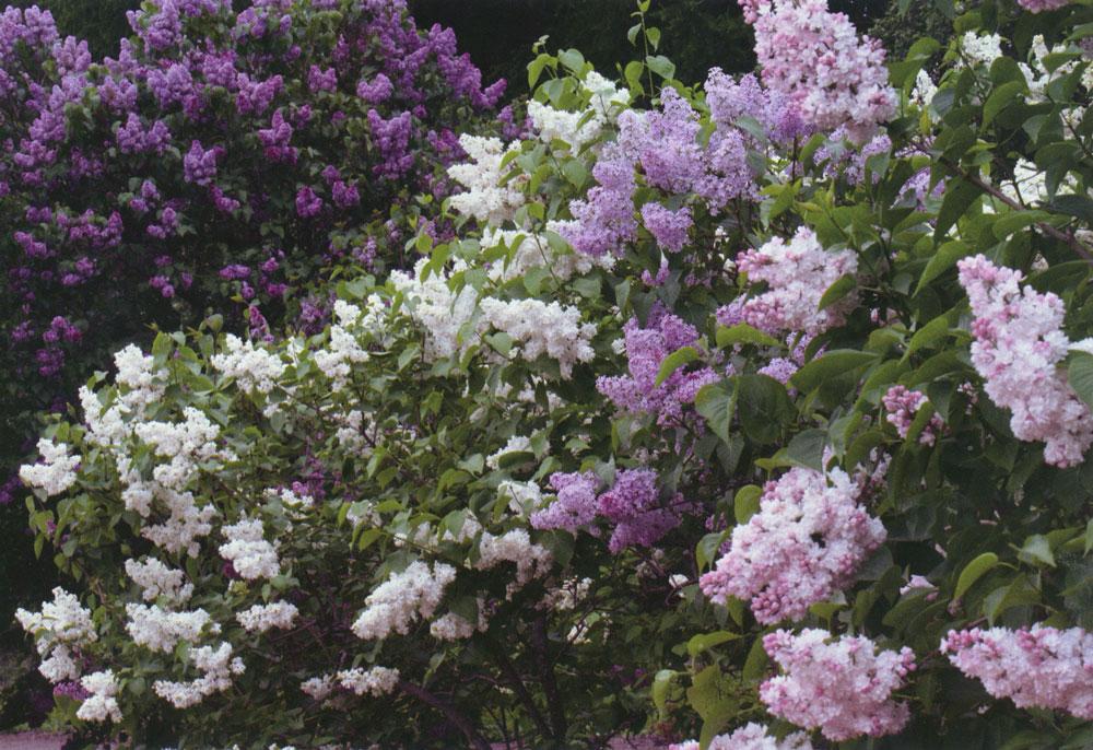 Сирень: выращивание в открытом грунте, обрезка, размножение, фото