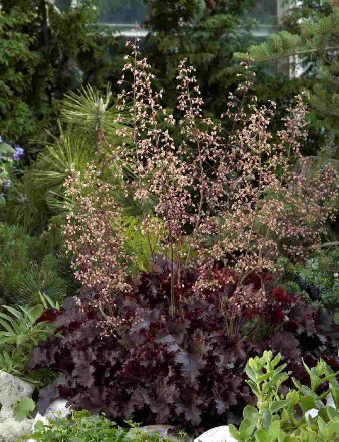 Гейхера: посадка и уход в открытом грунте, размножение сорта, выращивание и сочетание в ландшафтном дизайне + фото