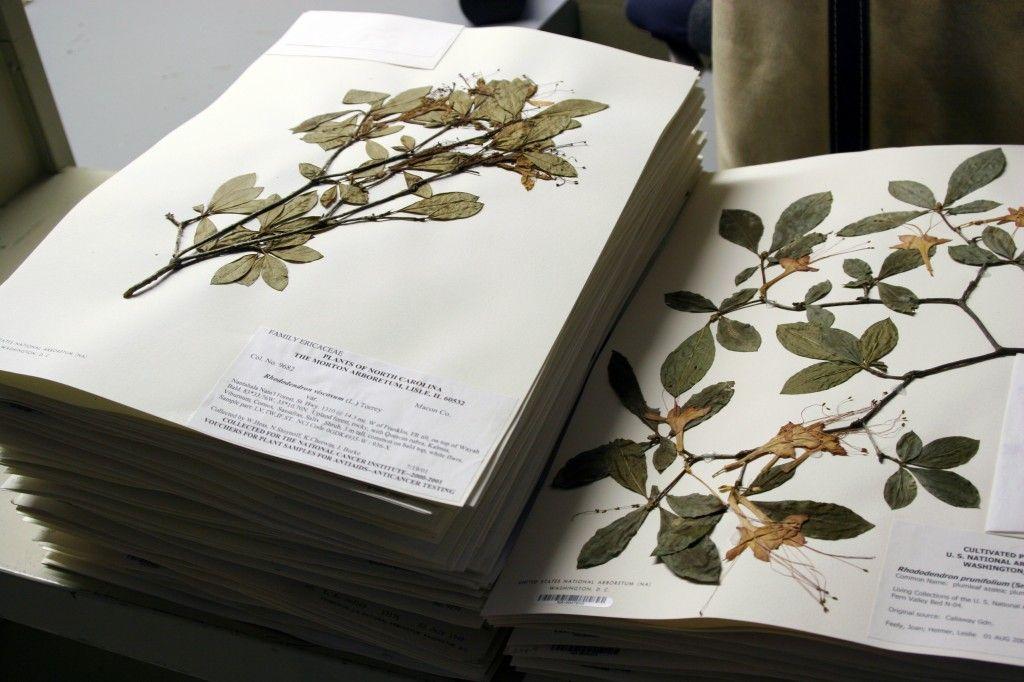 Гербарий из листьев деревьев с названиями листьев, растений: как собрать, быстро высушить и оформить