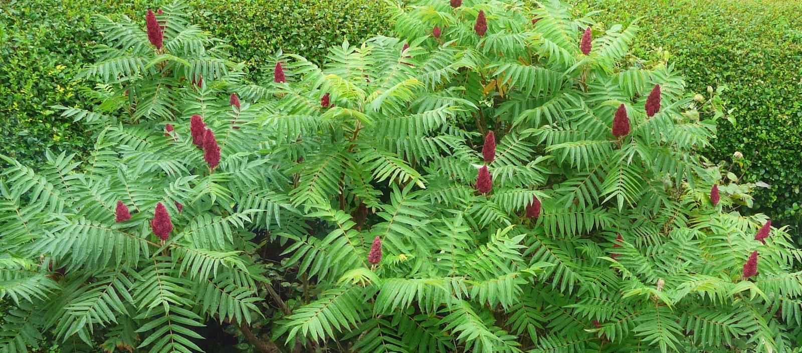 Уксусное дерево посадка и уход в открытом грунте - сад и огород