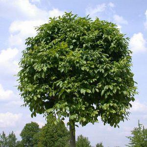 Ясень — все о дереве