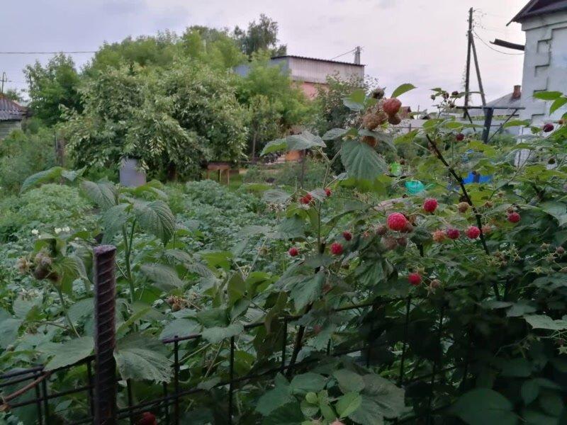 малина выращивание и уход в открытом грунте