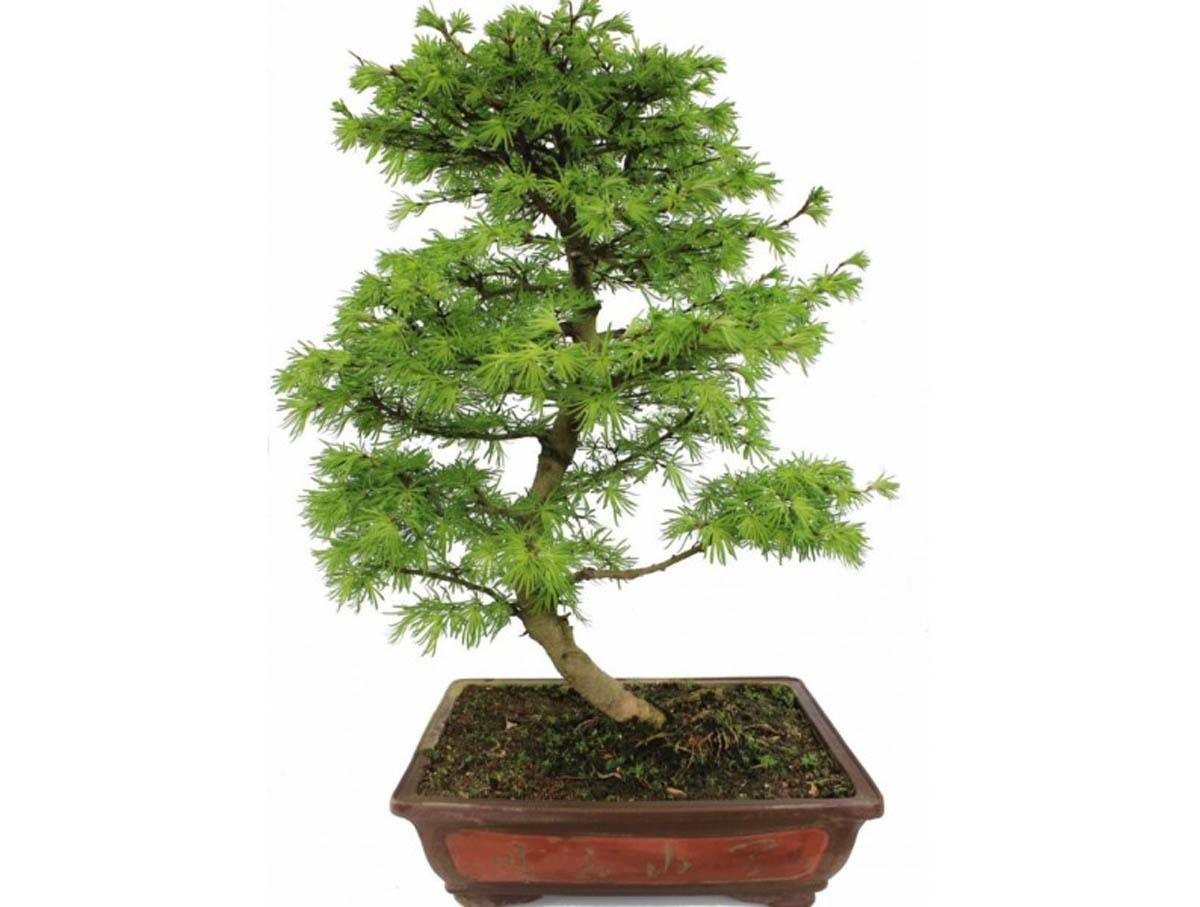 бонсай дерево уход в домашних условиях