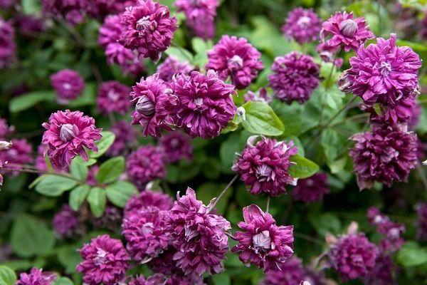 клематис пурпуреа плена элеганс фото