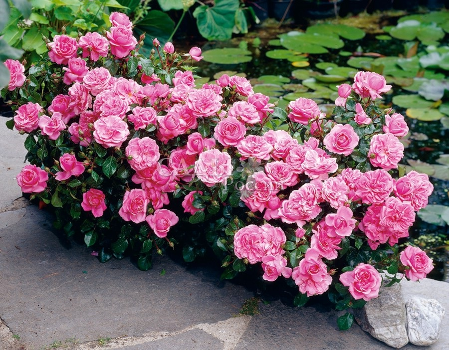 Стихи о розах | antrio.ru