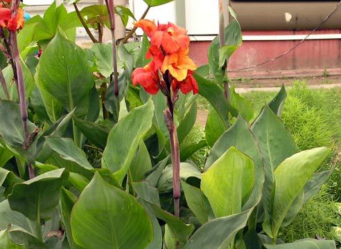 цветы канны посадка и уход