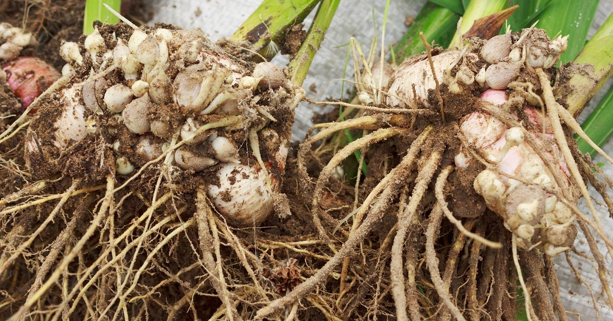 Как и когда выкапывать гладиолусы? как хранить осенью после цветения? как выкопать луковицы на зиму в открытом грунте? нужно ли убирать гладиолусы?