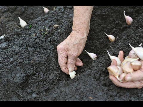 посадка чеснока под зиму расстояние между зубчиками