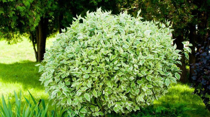 Декоративный дерен в саду – выращивание, виды и сорта с фото