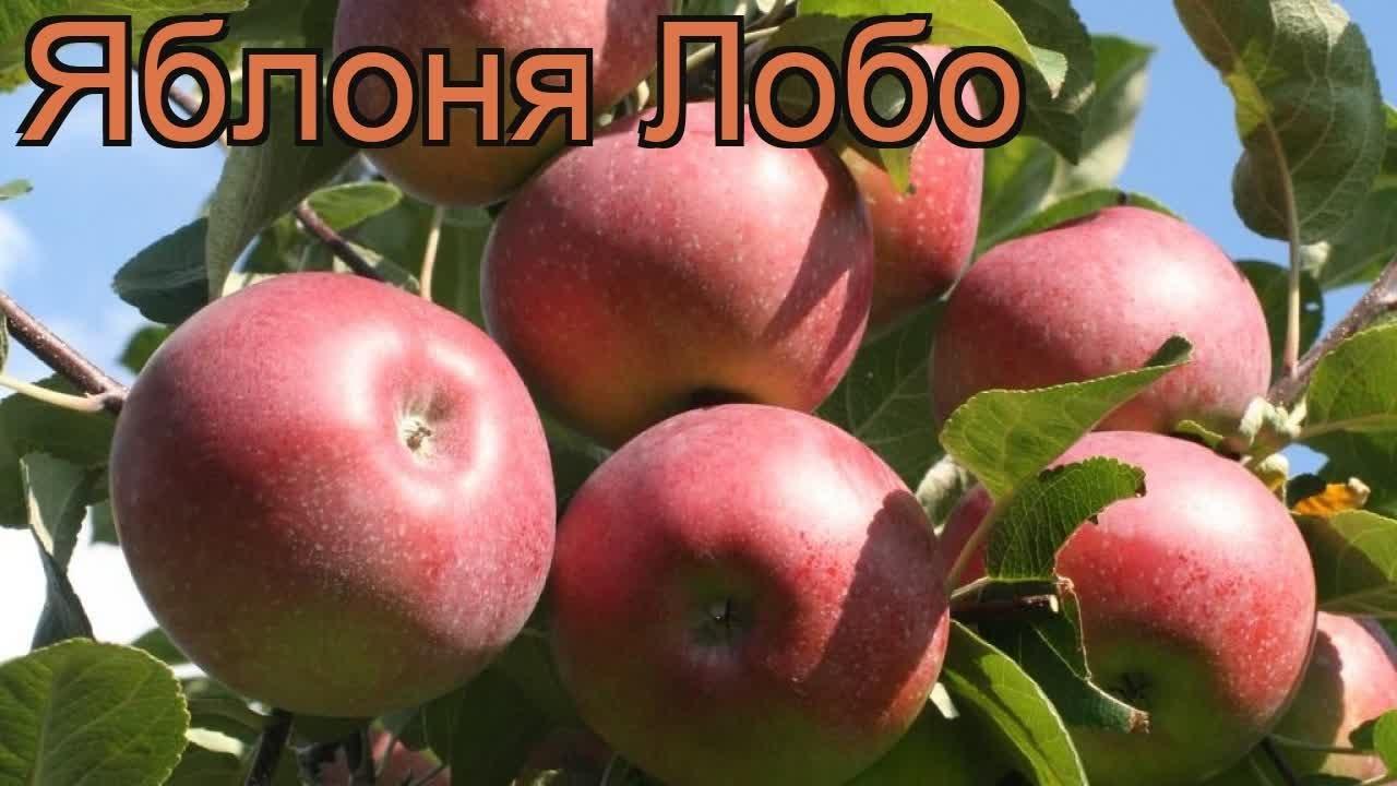 яблоня лобо отзывы
