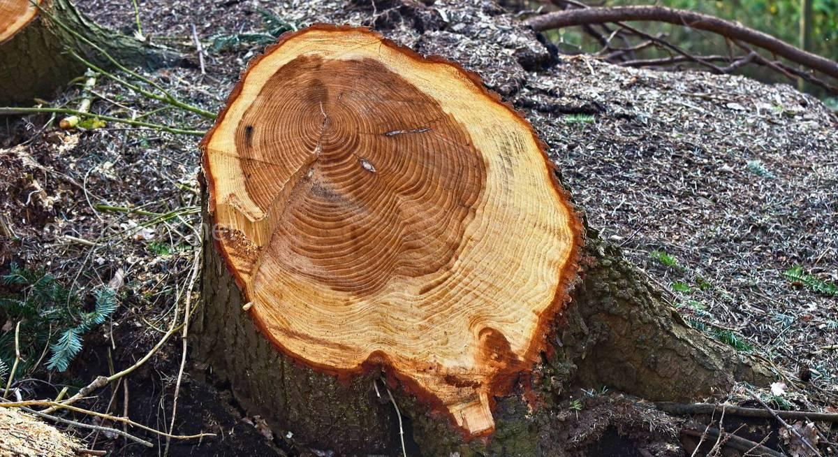 рубка деревьев на собственном участке