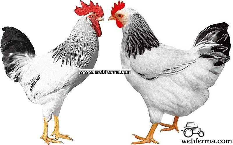 Куры доминант: описание породы и фото, характеристики чешского вида, когда начинают нестись? selo.guru — интернет портал о сельском хозяйстве