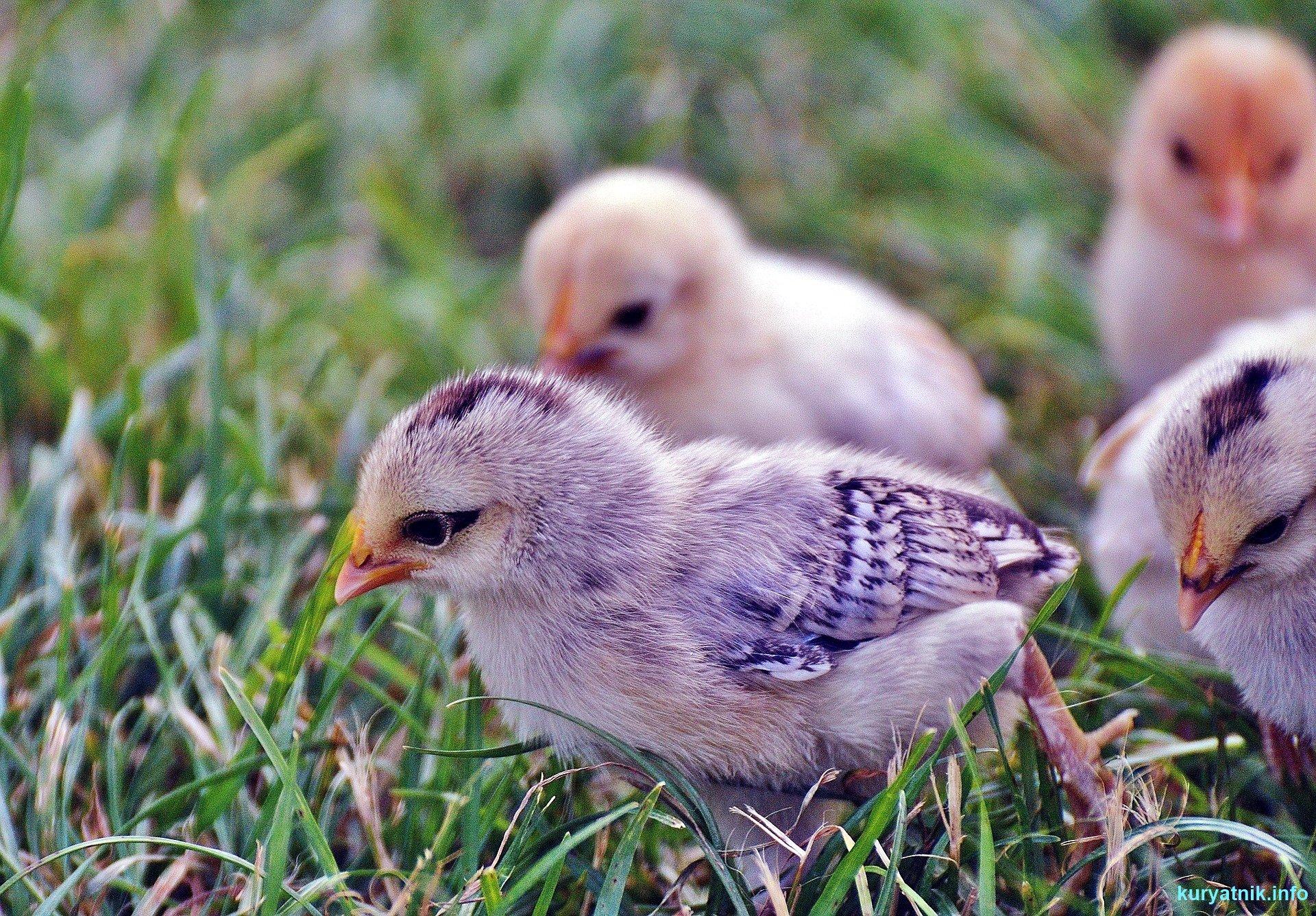Советы по содержанию кур в домашних условиях для начинающих: уход и разведение птиц