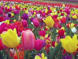 клумба с тюльпанами и многолетники