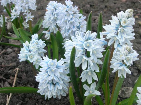 Луковичные цветы — что это за растения