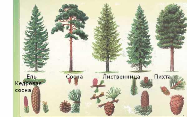 разновидности елок