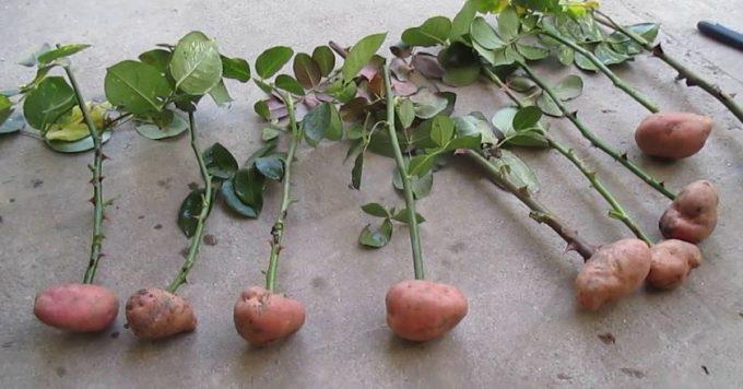 посадить розу в картошку