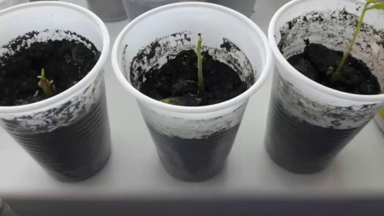 как посадить желудь чтобы вырос дуб