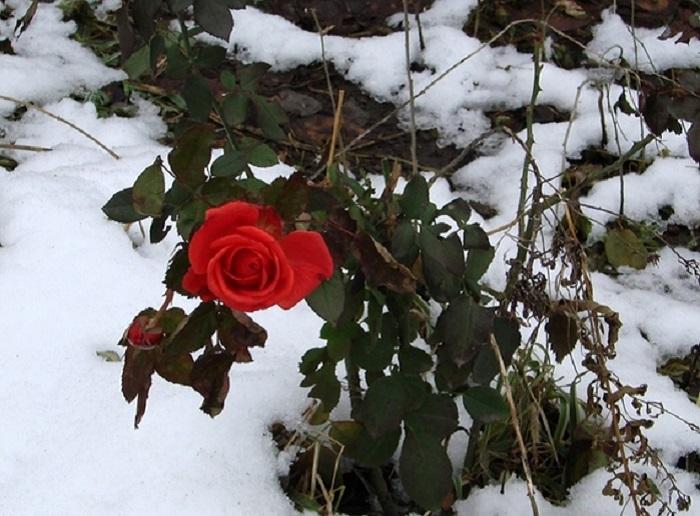 Обрезка роз весной: сроки, правила и схемы