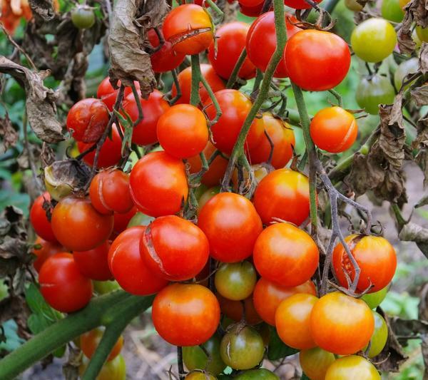 Профилактика фитофторы: спасаем помидоры в открытом грунте