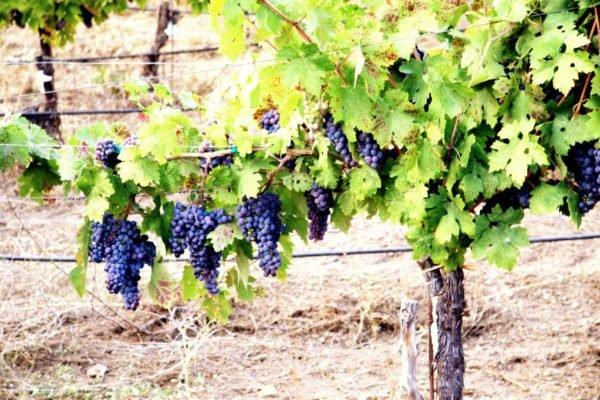 укрытие винограда осенью