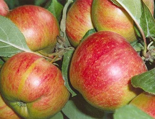 Яблоки супер чиф: фото и описание плодов высокого качества