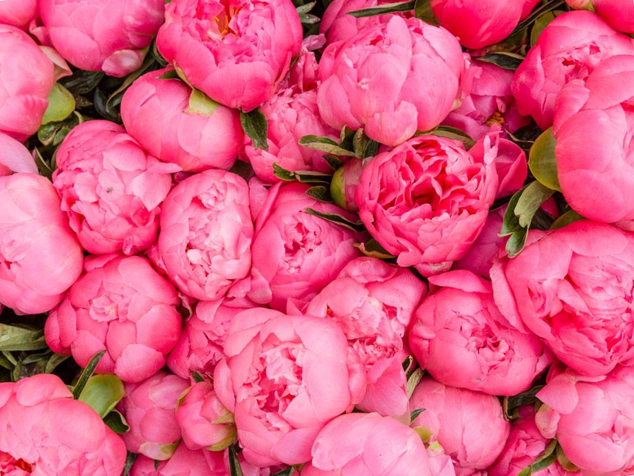 Пион травянистый: самые красивые сорта (фото), розовые, желтые, белые и другие, посадка в горшке или саду