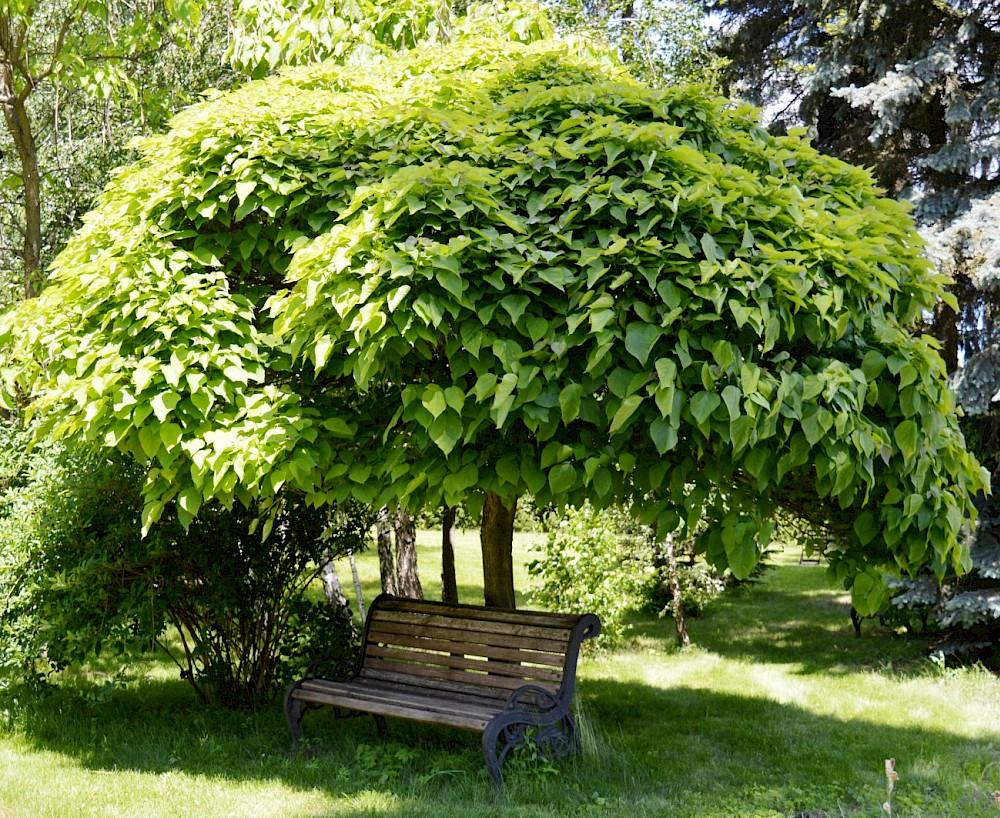 Катальпа: фото и виды, посадка и уход за деревом