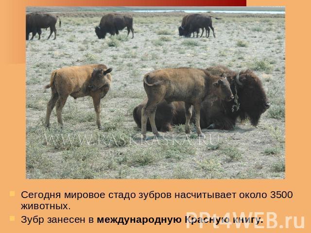 Зубр – животное красной книги россии | краткое описание и фото